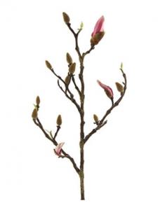 749936a Magnolia bund brandh.Leonor S Pink